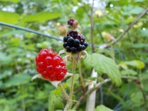 Berry Season