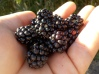 Huge Blackberries